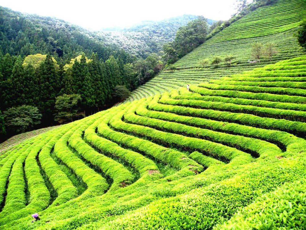 Lipton Sencha Green Tea 4 boxes, 20 pyramid tea bags per box